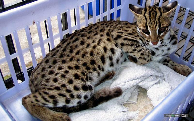 9. Asian Leopard cat