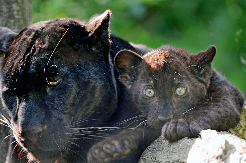 Black panther with a cub