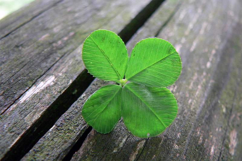 Four-leaf clover. Photo by Umberto Salvagnin