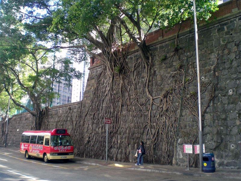 1. Banyan hanging on the stone wall in Hong Kong