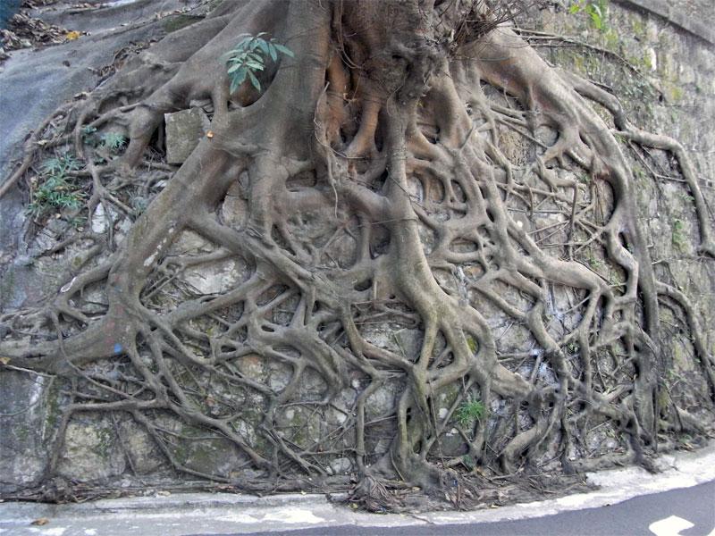 3. Banyan roots