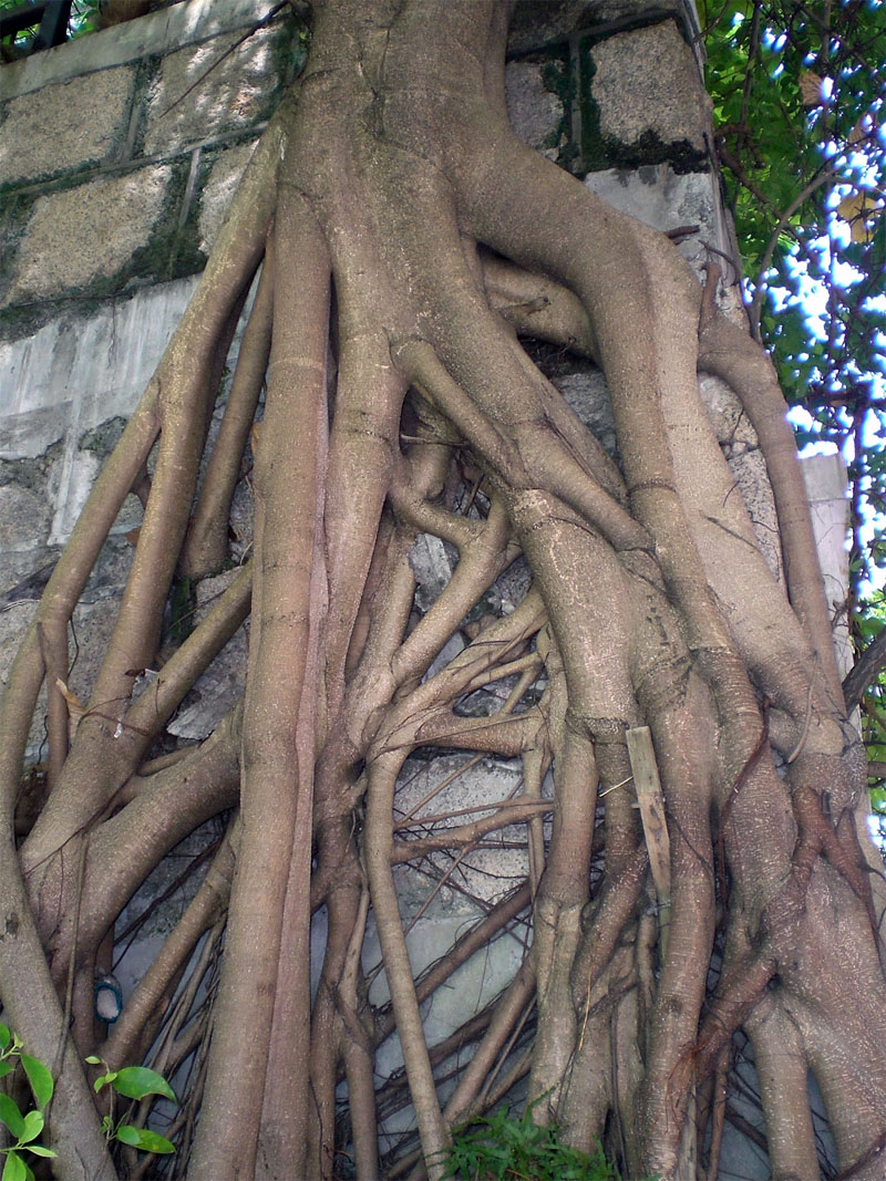 4. Banyan growing on the vertical surface
