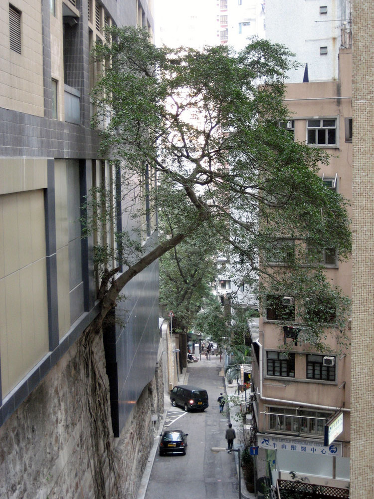 7. Ficus tree growing on the building wall in the center of Hong Kong