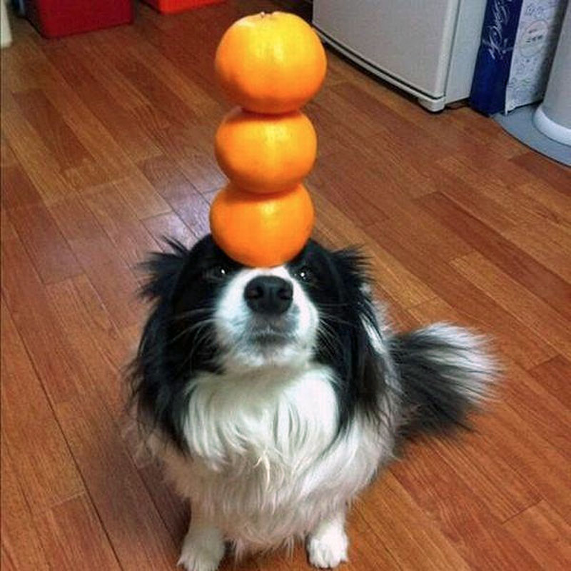 1. The dog balancing oranges on its muzzle