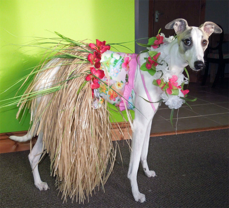 13. A dog wearing Hawaiian grass skirt