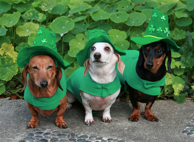 3. Leprechaun dachshunds. Photo by Anne Marie Nihoul-Weaver.
