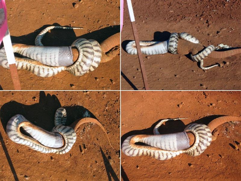 python eating goanna