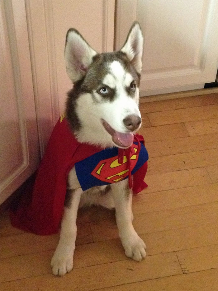 8. A dog in the superman costume