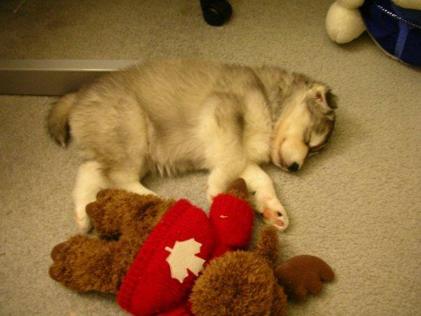 Husky brought up by cats