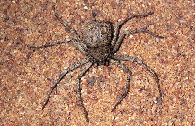 Sicarius-(six eyed sand spider)