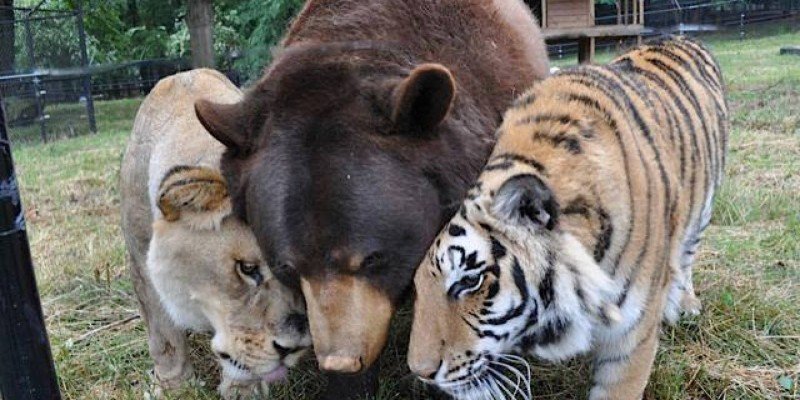 bear-lion-tiger-14