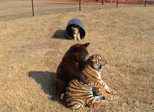 bear-lion-tiger-2