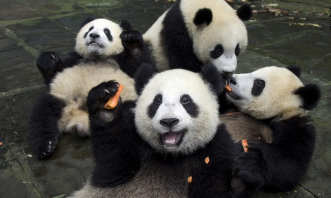 20 cute and lazy pandas