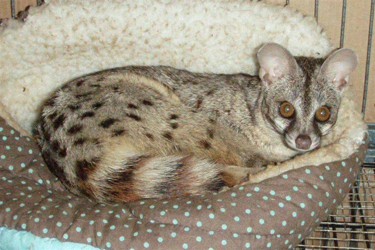 Spotted Genets