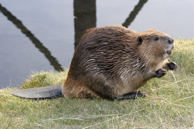 Because beavers' teeth never stop growing, they must constantly gnaw on objects to keep them at a manageable length. Their teeth would eventually grow into their brain if they didn't maintain them.