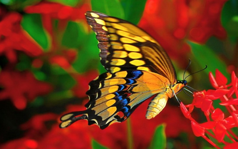Butterflies have two compound eyes consisting of thousands of lenses, yet they can only see the colors red, green and yellow.
