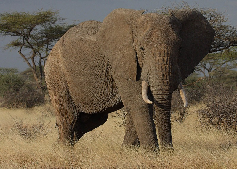 Elephants can smell water up to 3 miles away. They are also one of the three mammals that undergo menopause – the other two being humpback whales and human females.