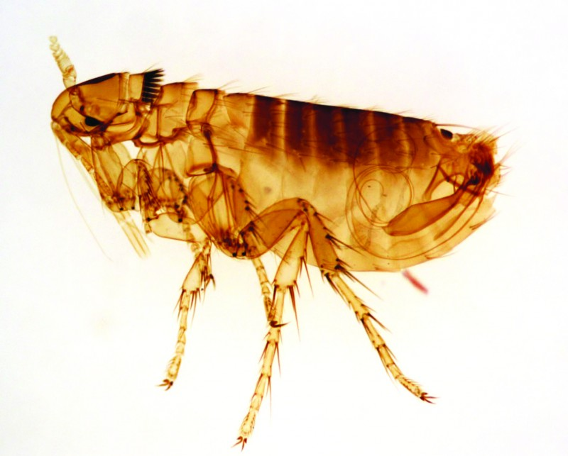 Fleas can jump up to 200 times their height. This is equivalent to a man jumping the Empire State Building in New York.