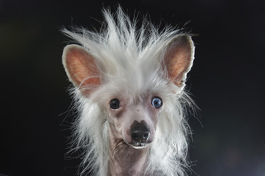8 amazing hairless dogs