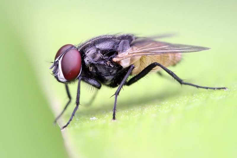 Housefly - Houseflies don't allow their short lifespans (14 days) to hinder their musical abilities. They always hum in the key of F.