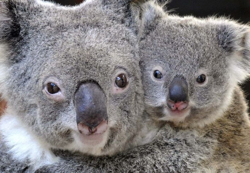 Koala bears almost exclusively eat only eucalyptus leaves and nothing else.