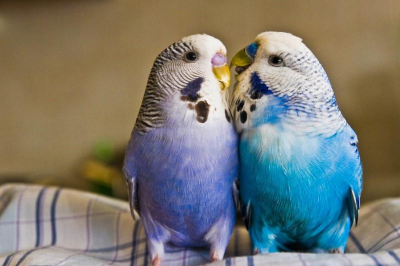 love_birds_11