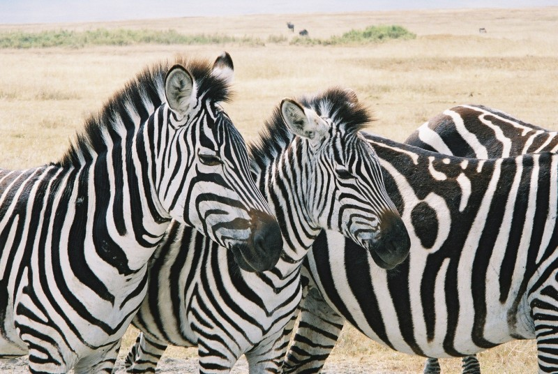 These beautiful zebras