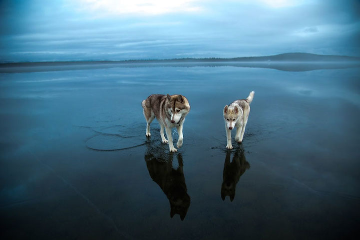 Huskies on a frozen lake