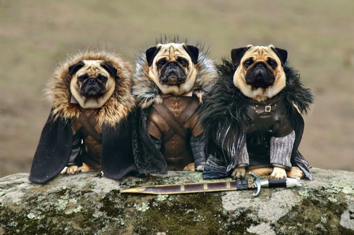 "Three pug dogs in ""Game of Thrones"""