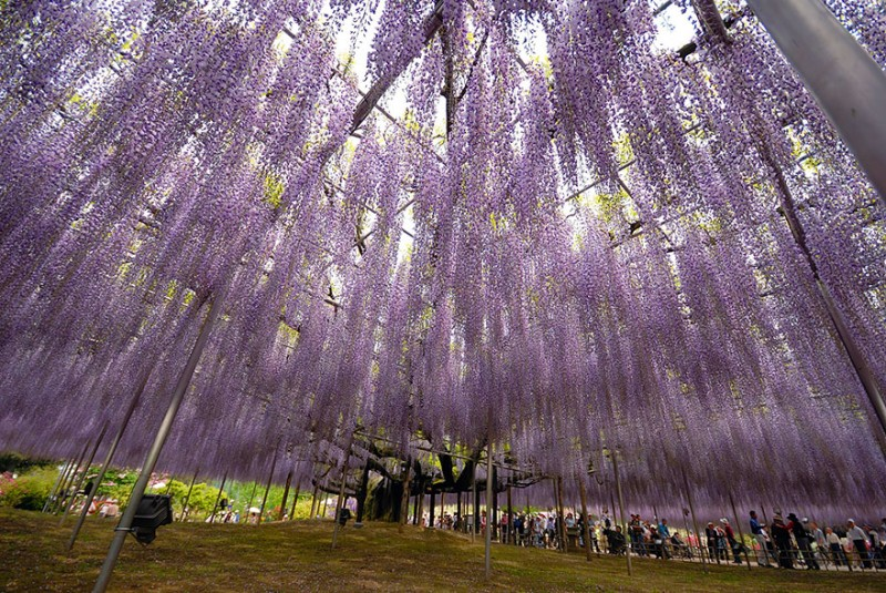 Old-Japanese-wisteria-10