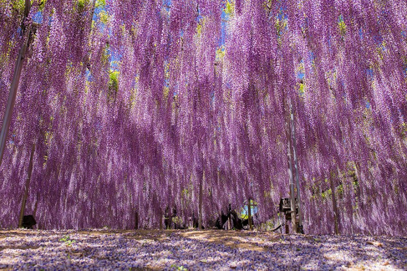 Old-Japanese-wisteria-11