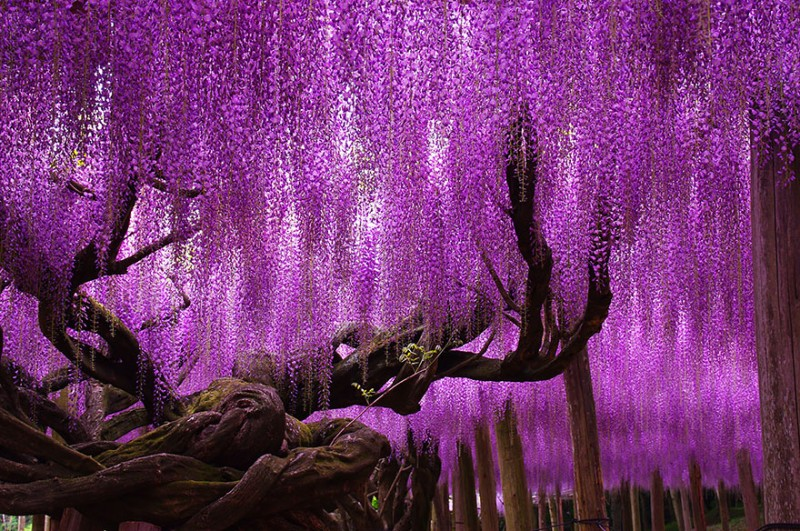 Old-Japanese-wisteria-2