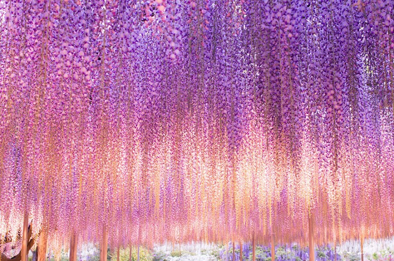 Old-Japanese-wisteria-3