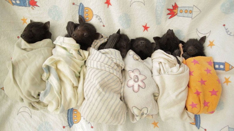 Orphaned Baby Bats in Australian Bat Clinic