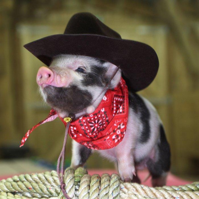 pigs-10