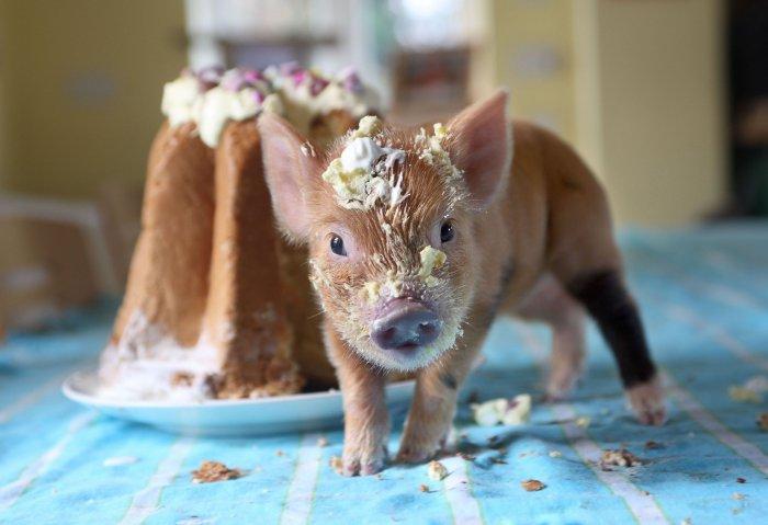pigs-7