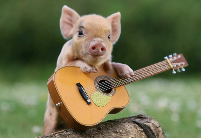 pigs-8