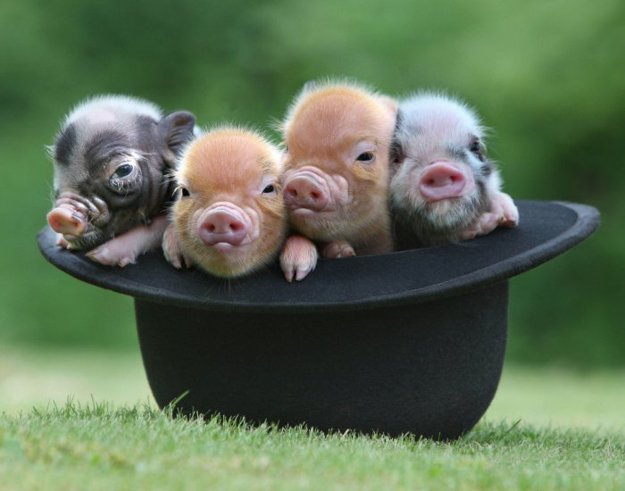 Mini pigs from the UK