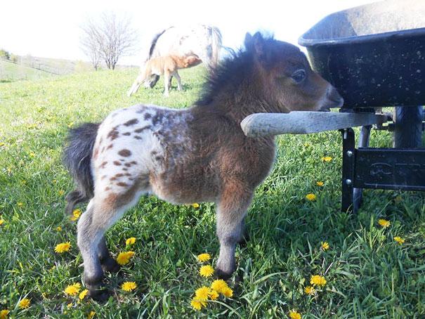 Baby mini horse