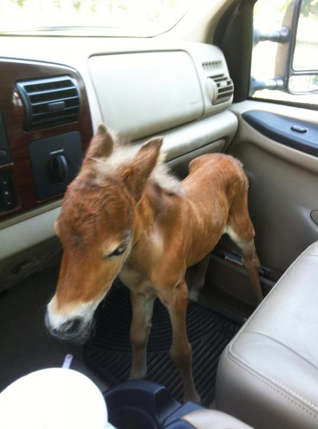 Veterinar rescued abandoned mini horse