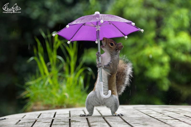 Squirrel with a tiny umbrella photo
