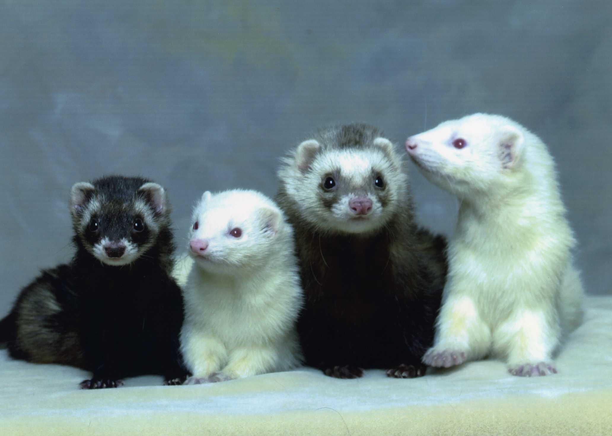 Cute ferrets