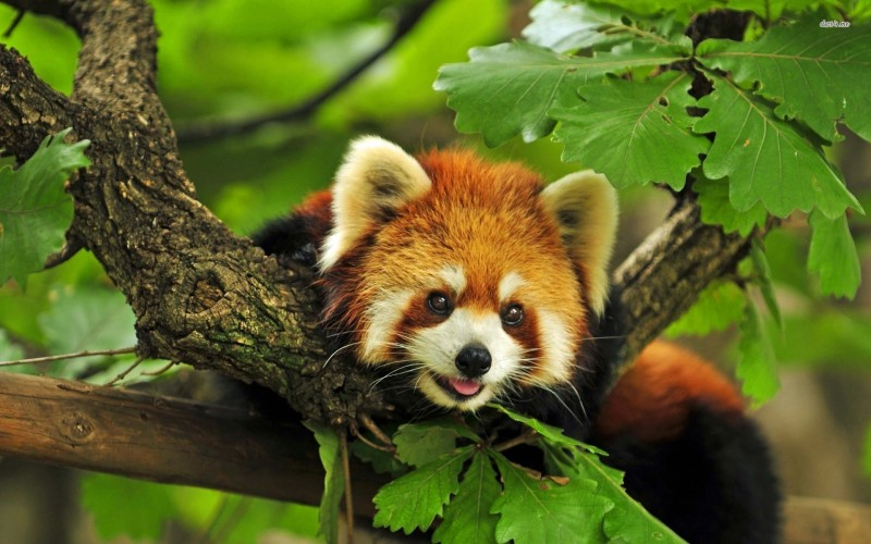 Extraordinary red pandas