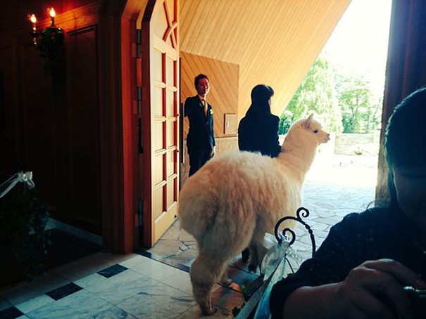 Alpaca as a witness at the wedding