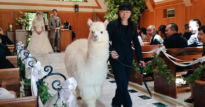 Alpaca as a witness at a wedding