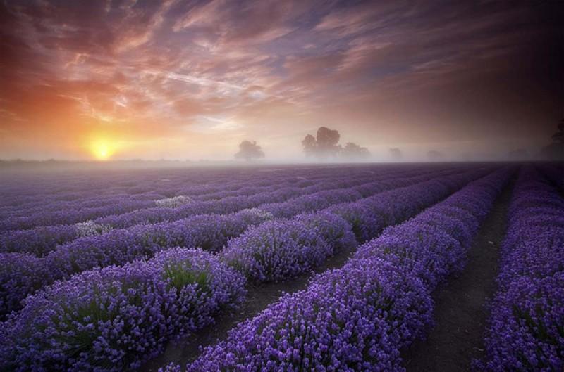 Hypnotizing lavender fields
