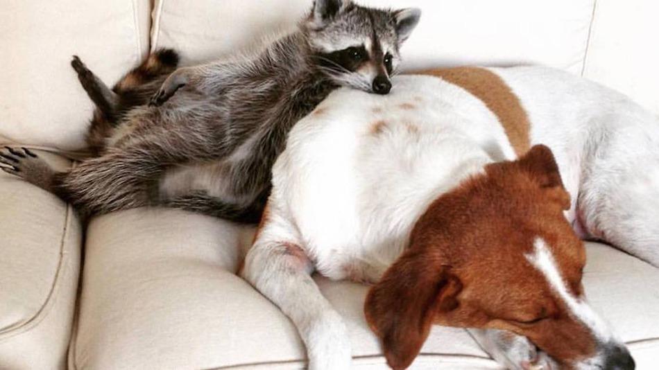 raccoon who considers himself a dog 1