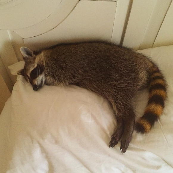 raccoon who considers himself a dog 13