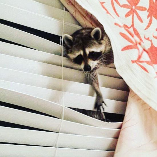 raccoon who considers himself a dog 4