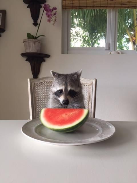 raccoon who considers himself a dog 5